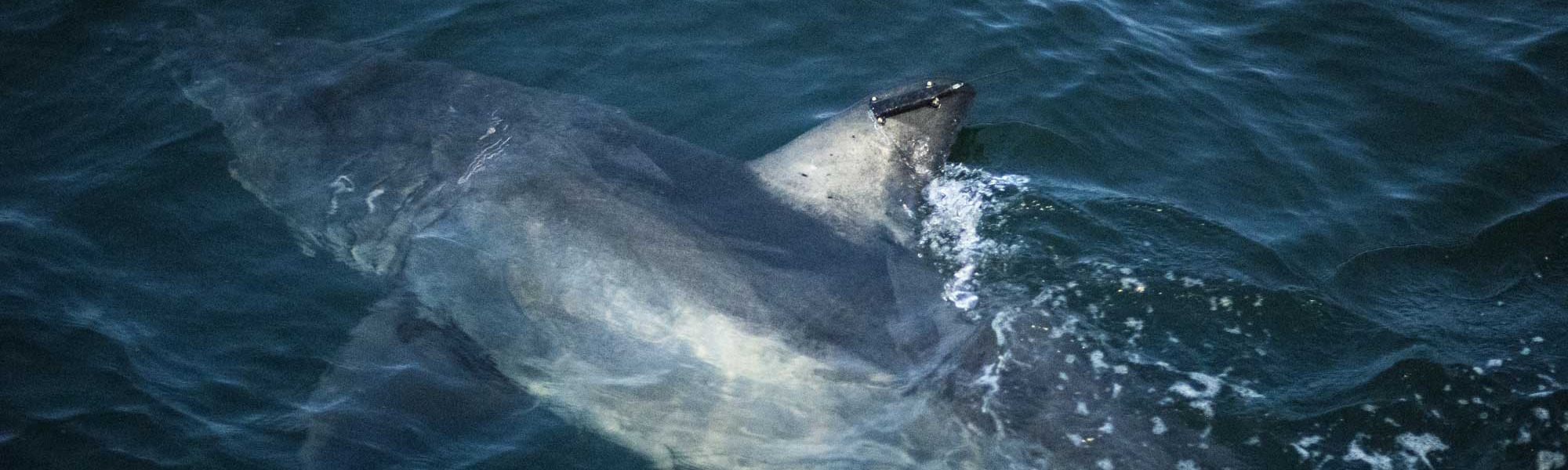 OCEARCH Adds Satellite Tag to Shark Already Equipped With an Acoustic Transmitter