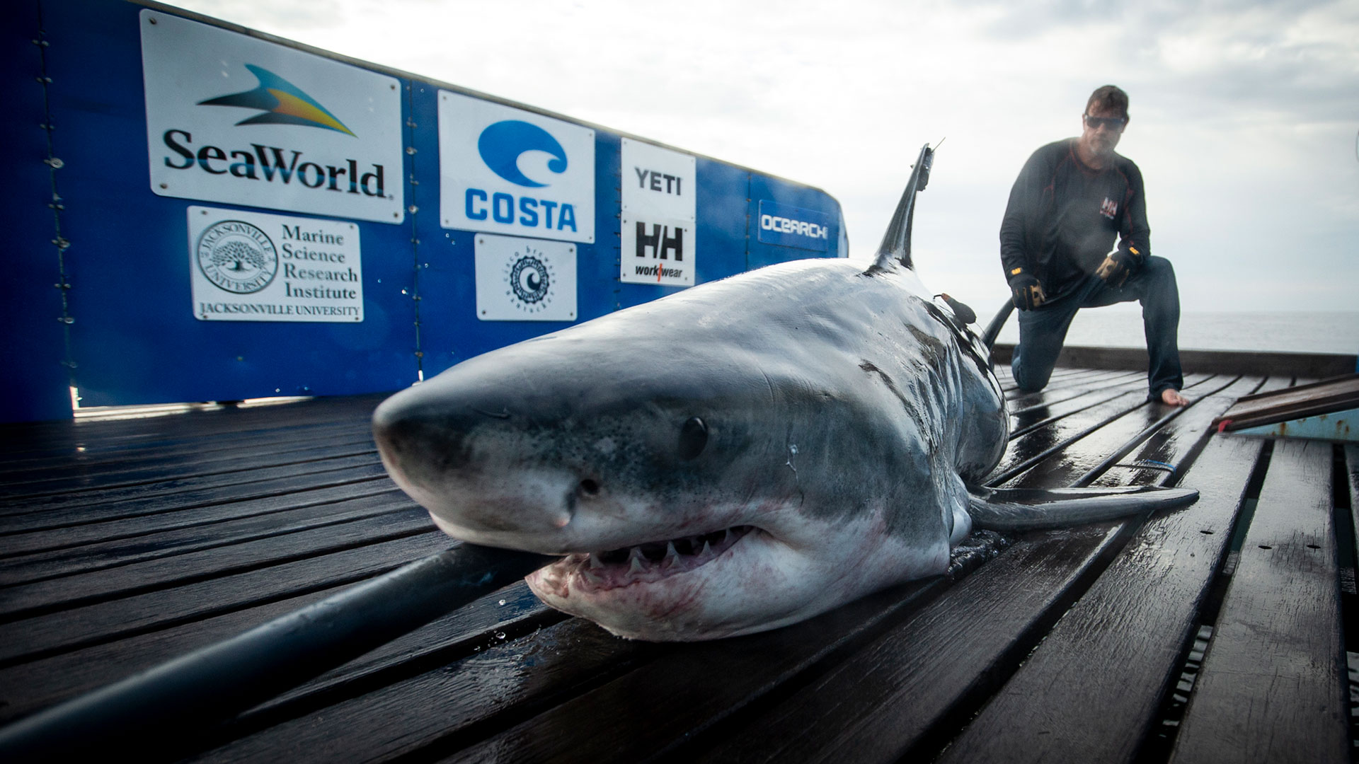 OCEARCH Successfully Satellite Tags Great White Shark Off North