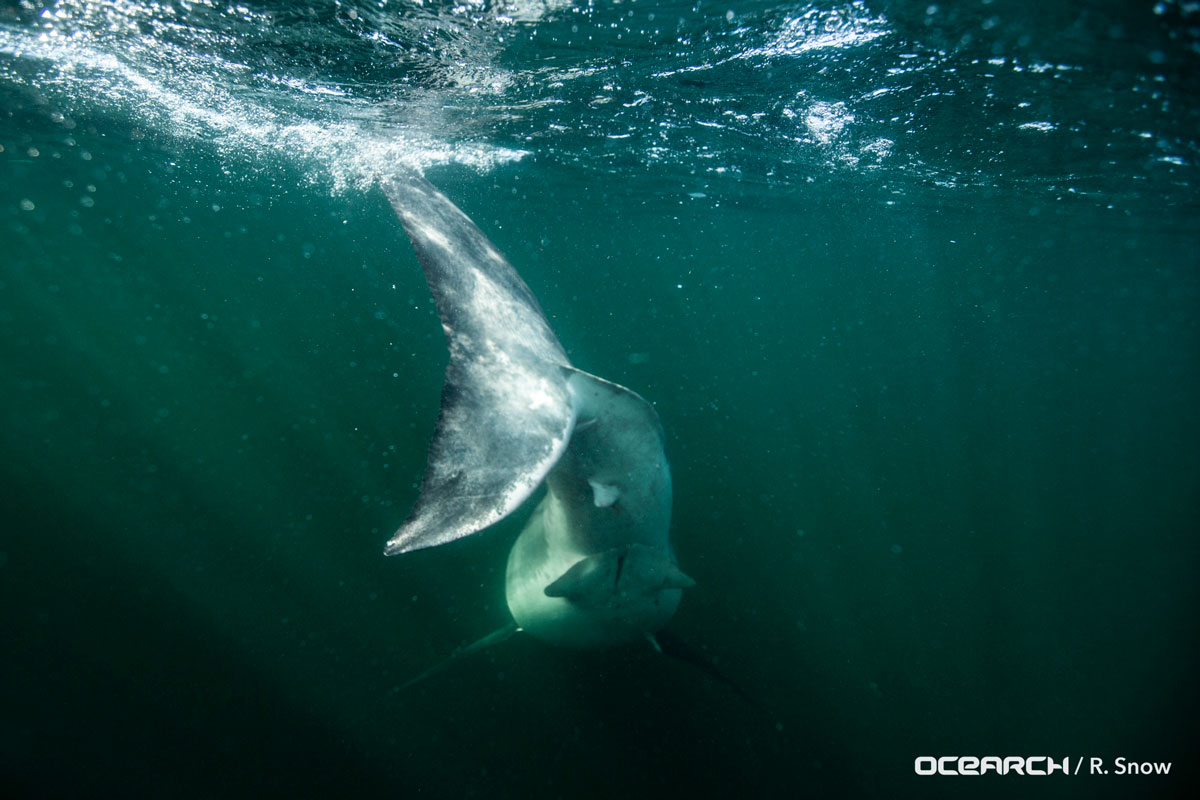 OCEARCH Concludes Expedition NASFA, Advances White Shark Research