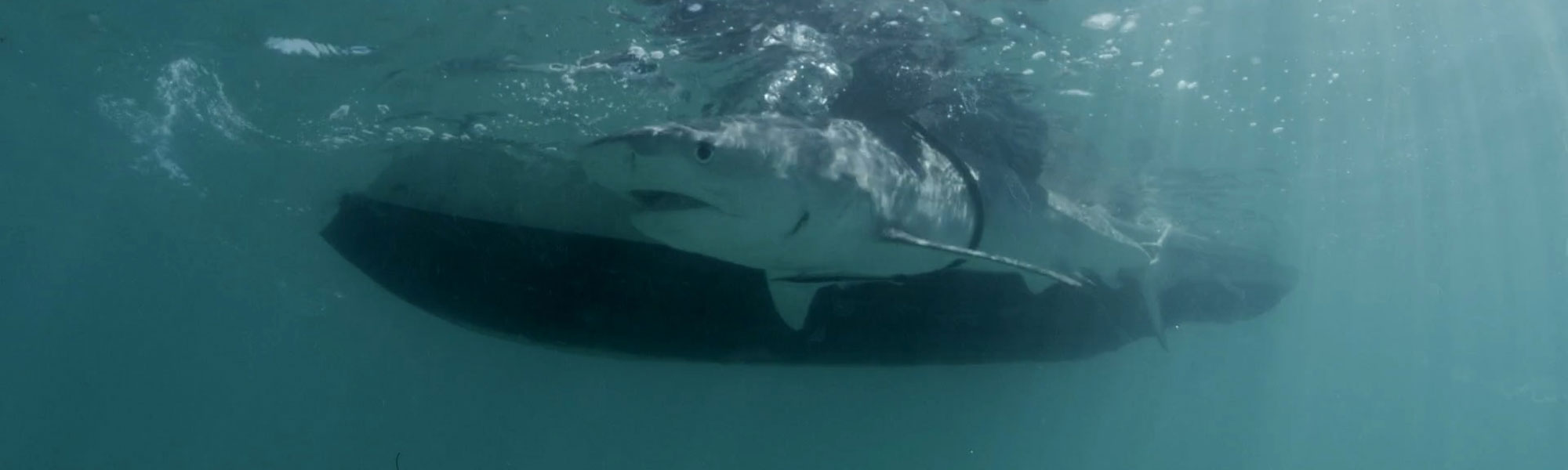 Biopixel Oceans Foundation Adds Several Tiger Sharks to OCEARCH Tracker