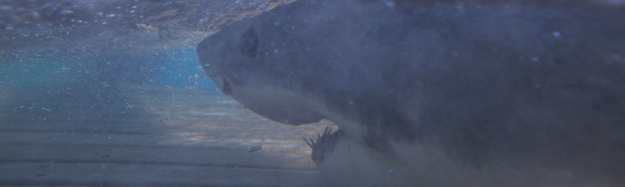 New Study Reveals Poison Flowing Through White Sharks' Veins