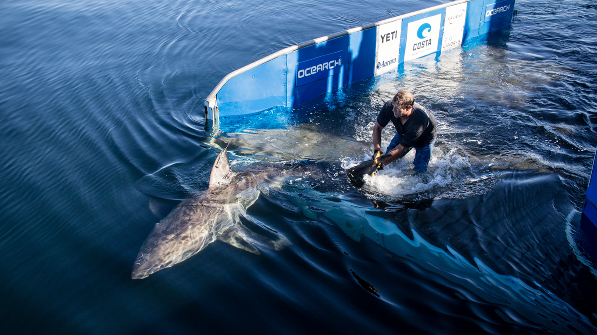 OCEARCH Tracks Large White Shark Miss Costa Off Florida Panhandle